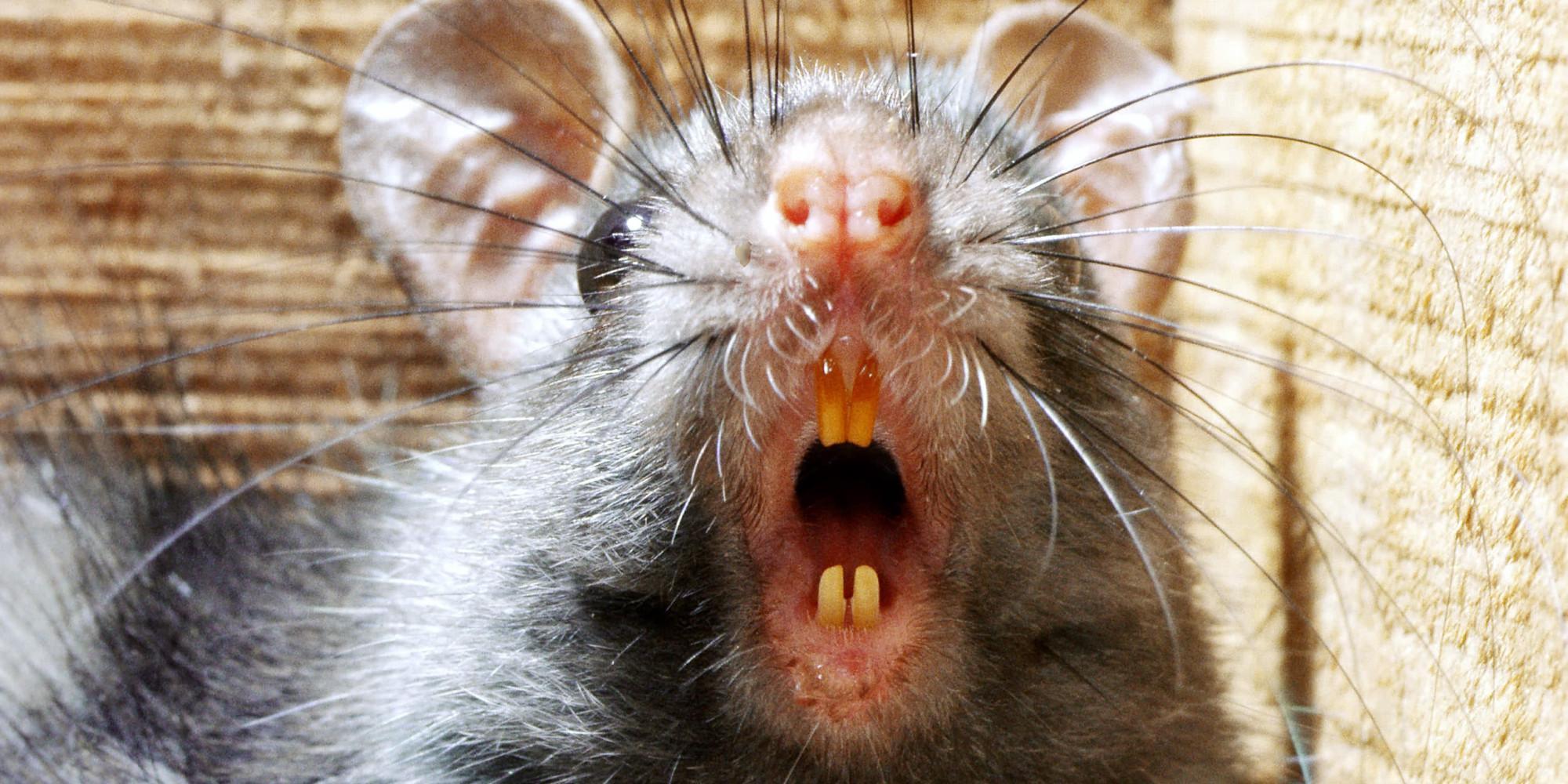 злая мышка картинка власти уже сообщили